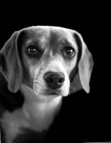 black and white beagle